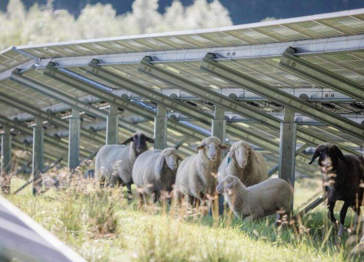 Maxsolar_Schafweide_Schafe_Solarpark_2020-scaled-e1602075218787-1024x512