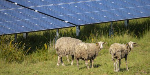 Baywa_re_Solarpark_Schafe_Militaerbasis_Frankreich_2021-e1618389865683-1536x768